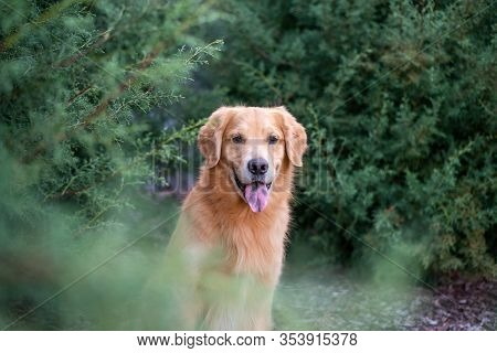 Golden Retriever Outdoors In Beautiful Blue Cypress, Portrait Of Obedient Dog