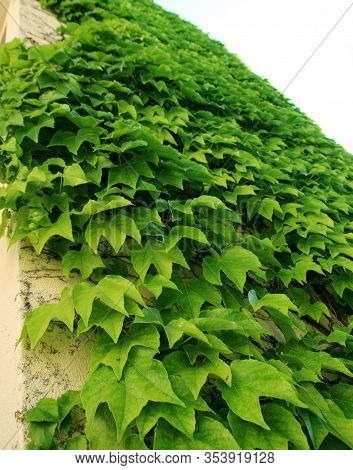 Ivy On The Wall, Ivied Wall, Covered With Ivy
