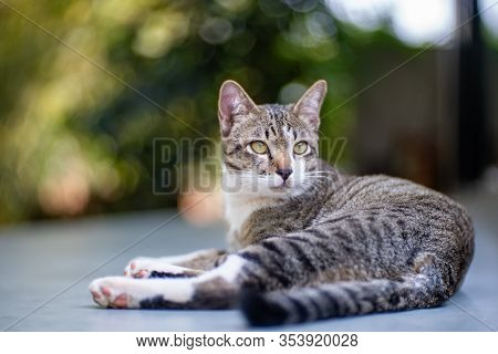Portrait Of Striped Cat, Close Up Thai Cat, Portrait Of Resting Cat