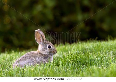 Western Brush Cottontail Rabbit