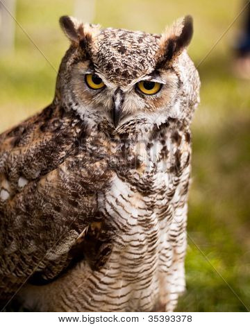 Owl with long ears
