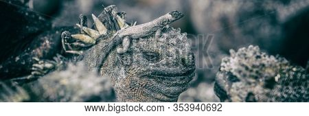 Galapagos funny animals - Marine Iguana with smaller marine iguana on its head. Cute Amazing wildlife animals on Galapagos Islands, Ecuador. Panoramic banner.