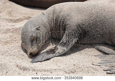 Galapagos Sea Lion in sand lying on beach. Wildlife in nature, animals in natural habitat on Galapagos Islands. Cute sleeping young sea lion pup.