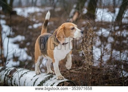 A Beagle Dog On A Walk In The Spring Forest On A Foggy Day. Portrait Of A Beagle Dog