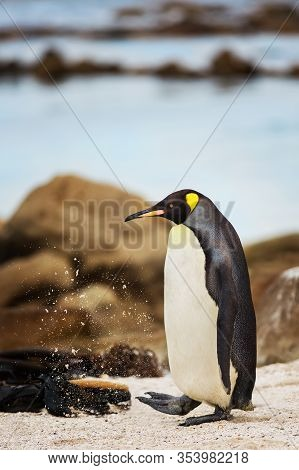 King Penguin Kicking Up Sand In Cape Town, South Africa