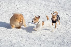 Pomeranian Spitz Puppy, Jack Russell Terrier Puppy And Chihuahua Puppy Are Playing In The Winter Par