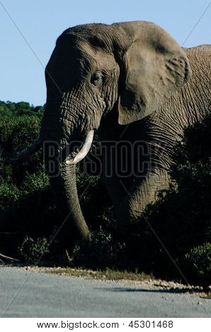 ELEPHANT OUT FOR AN AFTERNOON STROLL