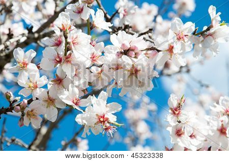 Almond trees blossoming in the spring in Mallorca. poster
