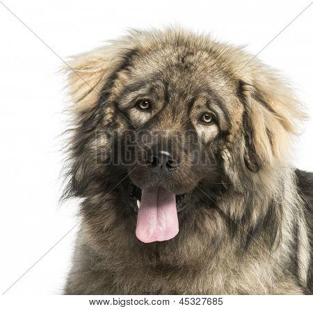 Close-up of a Yugoslav Shepherd Dog panting, 1 year old, isolated on white