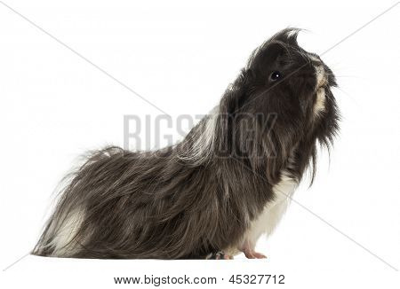 Side view of a Guinea Pig - Cavia porcellus, isolated on white