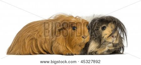 Two Guinea Pigs - Cavia porcellus, lying, isolated on white