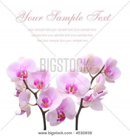 Pink Orchid Flower On A White Background