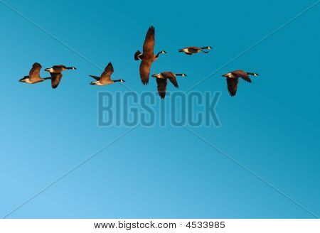Flock Of Canadian Geese In Flight