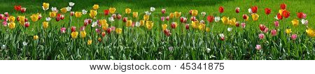 Many tulips as floral wide angle view panorama