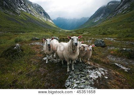 Flock Of Sheep. Scandinavia,