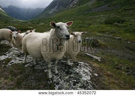 "Flock of white sheep. Scandinavia ""Troll's valley"" poster"