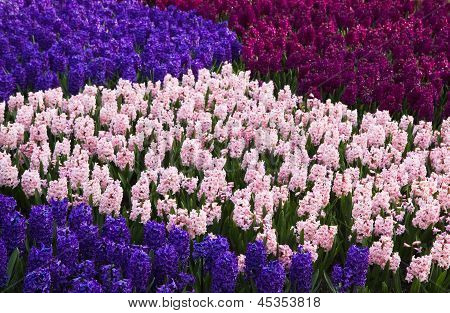 Colorful Hyacinths In Spring