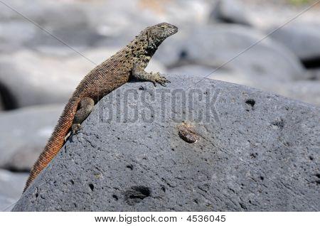 Little galapagos iguana lying under the sun poster