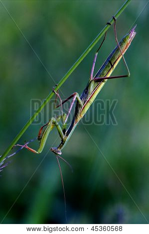 Mantodea  Close  Praying Mantis