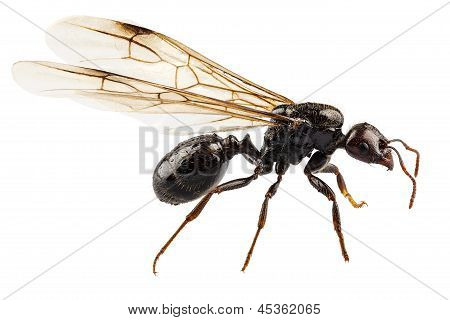 Black Winged Garden Ant Species Niger Lasius