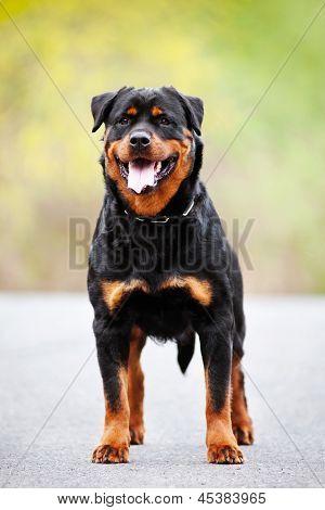 rottweiler dog outdoors