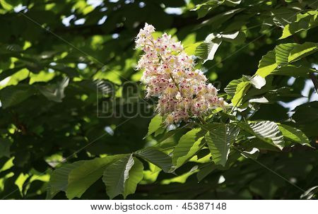 Chestnut Flower On A Background Of Leaves