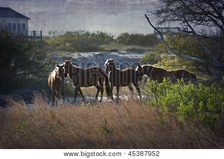 A family of wild horses graze among the homes in the Outer Banks in North Carolina