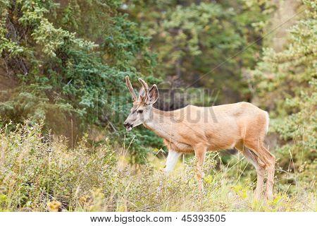 Young mule deer buck with velvet antlers in taiga