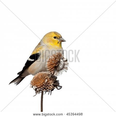 Male American Goldfinch in winter plumage, perched on top of dry wild sunflower seedpods; isolated on white