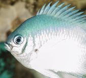 Closeup of a pale damselfish on tropical coral reef underwater poster