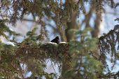 blackbird on fir branches in winter day poster