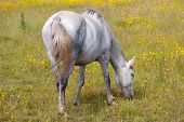 photo of a horse in freedom eating grass poster