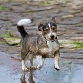 A mixed breed dog jumps very dynamic and enjoyable through a puddle of water poster