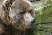 brown bear or grizzly poster
