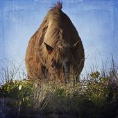 A wild horse grazes in the dunes in the Outer Banks of North Carolina. poster