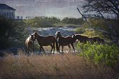 A family of wild horses graze among the homes in the Outer Banks in North Carolina poster