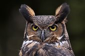 A close-up of a Great Horned Owl (Bubo virginianus) looking at the camera. poster