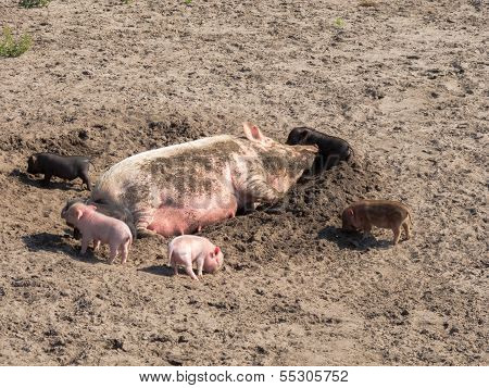 Pig With Farrows