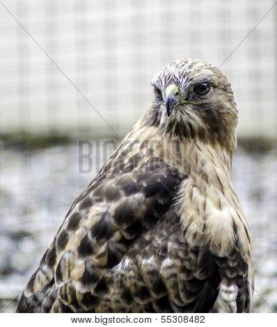 Alaskan Peregrine Falcon