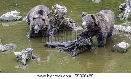 Two Alaskan Brown Bear Cubs