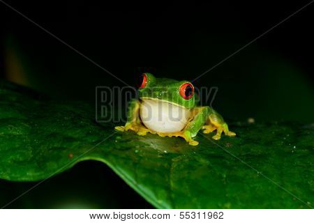 Red Eyes Tree Frog