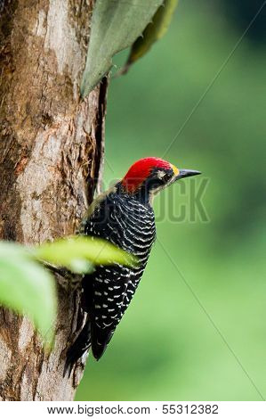 closeup of a black - cheeked woodpecker in the rainforest of Belize poster