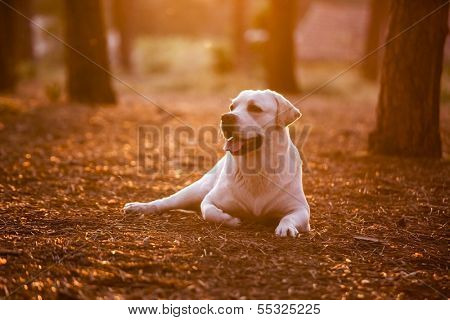 Beautiful dog in outdoor lying on a pinewood