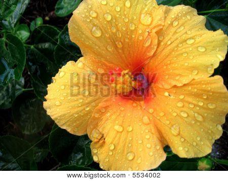 Raindrop-topped Yellow Hibiscus