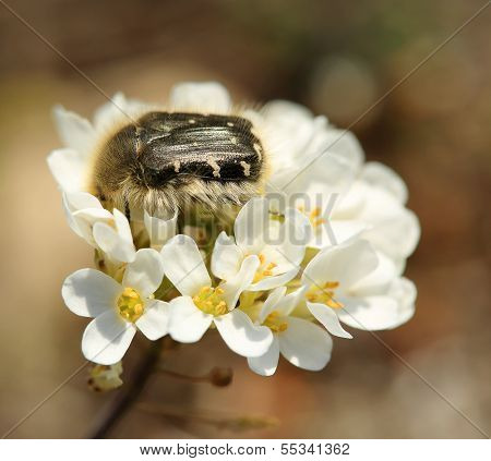 Chafer Beetle Mourning On The Petal Of A Flower (oxythyrea Funesta)