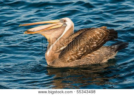 peruvian pelican swallowing fish in the peruvian coast at Piura Peru poster