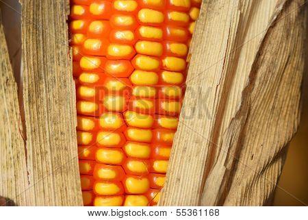 Corn After Harvest
