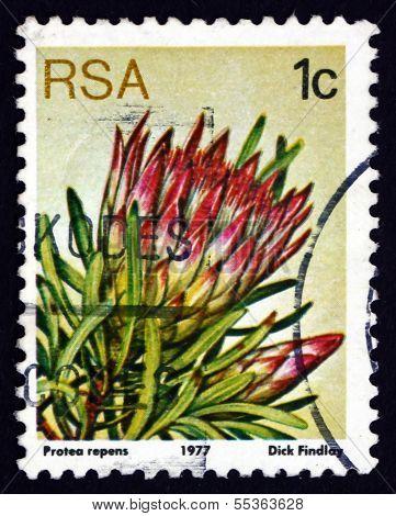 Postage Stamp South Africa 1977 Common Sugarbush, Flowering Plan