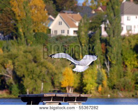 Gull Goes In For Landing