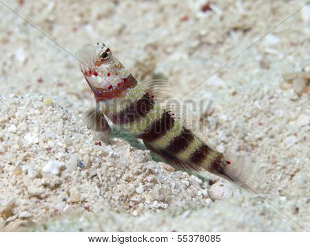 Gorgeous prawn-goby in Bohol sea Phlippines Islands poster